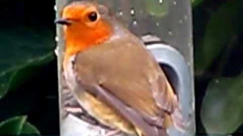 Robin Red Breast . Erithacus Rubecula . European Robin . British Garden Birds UK