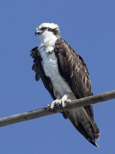 "P. h. carolinensis (nicknamed ""American Osprey"") subspecies."