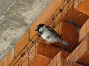 Italian sparrow male