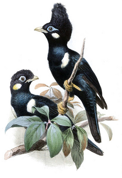 Sulawesi Myna