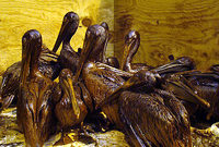 Group of pelicans in captivity covered with oil