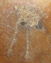 Idiornis tuberculata