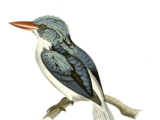 Biak Paradise-Kingfisher