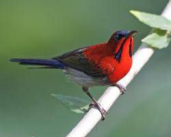 Crimson Sunbird (Aethopyga siparaja) male