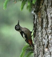 Himalayan Woodpecker (female) I IMG 6732