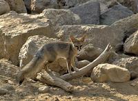 Blanfords fox