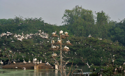 Spot-billed Pelican (Pelecanus philippensis) at nest with chicks in Uppalpadu W IMG 2663.png