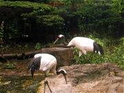 Cranes japan