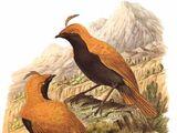 Red Satinbird