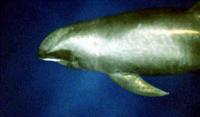 Melon headed whale