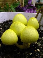 Plantpot Dapperling