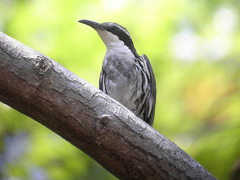 Stripe-headed rhabdornis