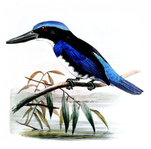 Blue-black Kingfisher