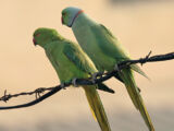 Old World parrot
