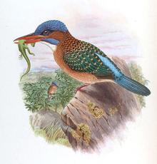Hombron's Kingfisher