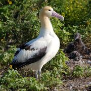 Short tailed Albatross1