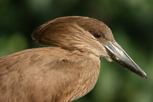 Head of a Hamerkop