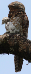 Great Potoo with chick