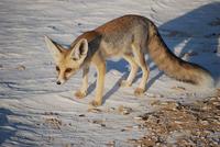 Ruppells fox