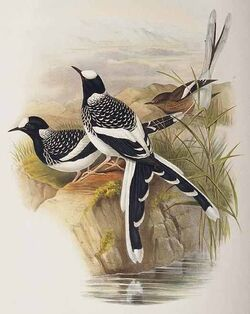 Enicurus maculatus
