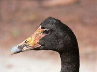 Magpie Goose444