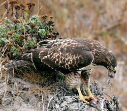 Hawk eating prey