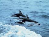 Oceanic Dolphin