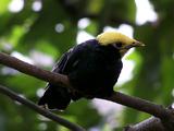 Golden-crested Myna