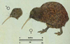 Apteryx australis small