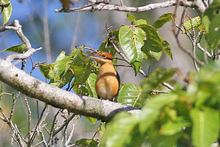 Cinnamon-banded Kingfisher