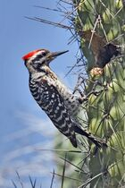 Ladder-back Woodpecker on Cactus