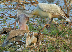 Spot-billed Pelican (Pelecanus philippensis) feeding a juvenile in Garapadu, AP W IMG 5362.png