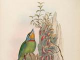 Taiwan Barbet
