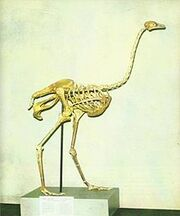 Asian Ostrich Skeleton