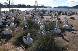 Pelecanus conspicillatus -Brisbane Water, Broken Bay, New South Wales, Australia -colony-8.png