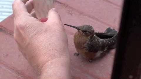 Baby Giant Hummingbird