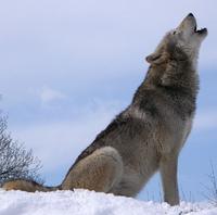Grey wolf howl