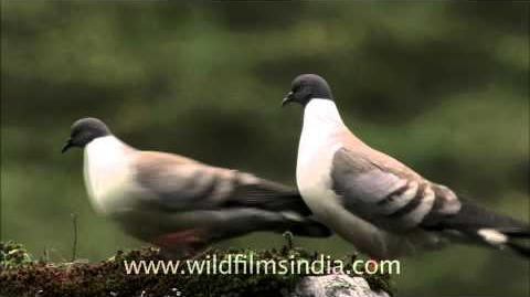 Pair of snow pigeon (Columba leuconota)