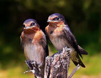 Swallow chicks444