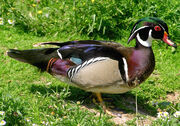 Wood.duck.arp