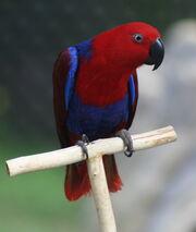 Eclectus Parrot (Eclectus roratus) -6-4c