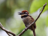 Chestnut-capped Puffbird