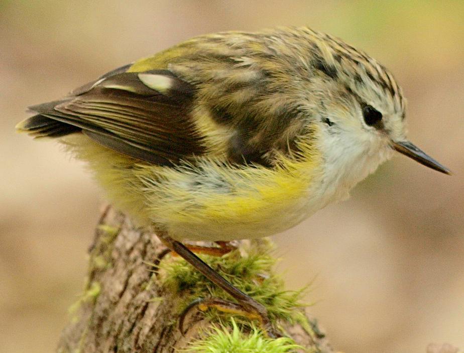 House Sparrow Passer Domesticus A Eupasserine And Oscine
