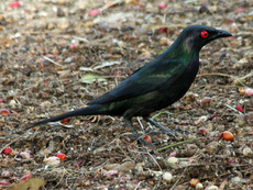 Metallic Starling Male