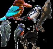 Picimorphae diversity