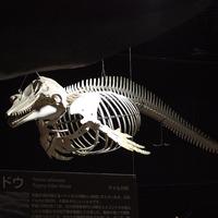 Pygmy Killer Whale Skeleton