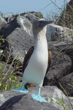 Blue-footed Booby (Sula nebouxii) -one leg raised