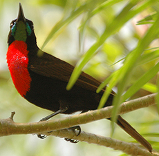 Scarlet chested sunbird
