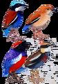 Pittidae diversity.png