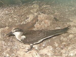 Bridled tern (1)